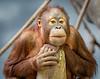 orangutan; 14x11