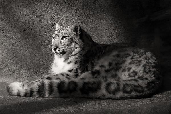 Snow Leopard; 8x12