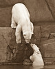 mother polar bear and cub; sepia; 8x10