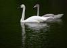 trumpeter swan; 5x7