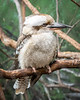 laughing kookaburra; 8x10