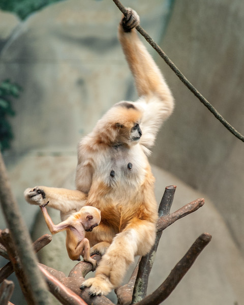 white cheeked gibbon; mother and baby; 8x10