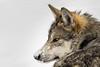 Mexican grey wolf; 2x3