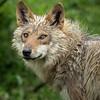 Wolf; 12x12