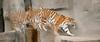 Amur tiger; 2.39x1 pano