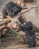 sloth bears; 8x10