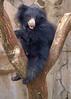 sloth bear; 5x7
