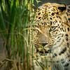 Amur Leopard; 8x8