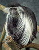 Colobus Monkey; 11x14