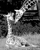 Giraffe; 8x10