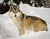 Mexican grey wolf; 11x14
