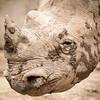 Black Rhinoceros; 1x1