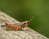 Grasshopper; 8x10