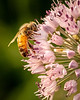 Honey bee on an ornamental onion; 8x10