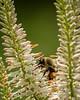 Bumblebee; 8x10