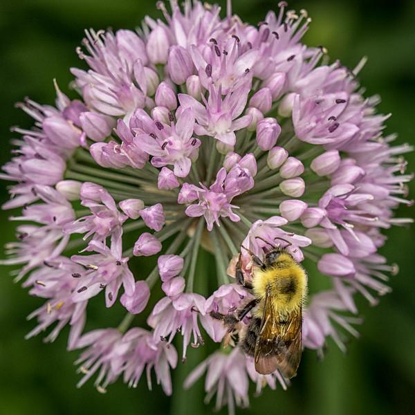Bumble Bee on an ornamental onion head; 12x12