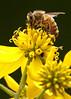 honey bee; 5x7