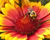 bumble bee; 8x10