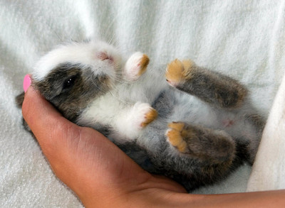 Just a couple weeks old, this little bunny rabbits rests comfortably in a young girls hand