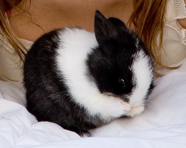 Black and white bunny rabbit rubbing its nose