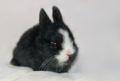 young black and white bunny rabbit