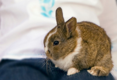 Little bunny rabbit sitting on a young girls lap