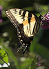 Eastern Tiger Swallowtail 5x7
