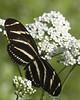 Zebra Longwing 8x10