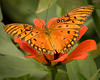Gulf Fritillary Butterfly; 8x10