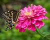 Palamedes Swallowtail; 8x10