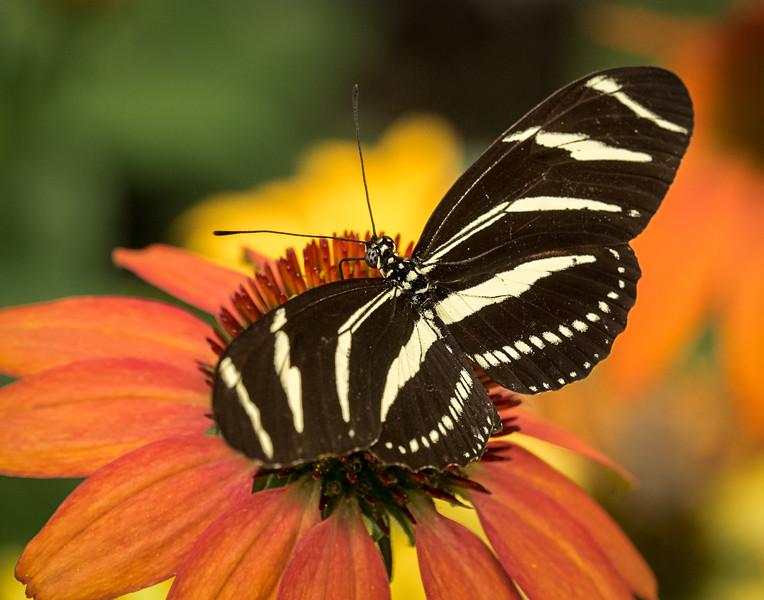 zebra longwing butterfly; 11x14