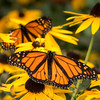 monarch butterfly on black-eyed susan flower; 12x12