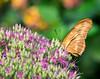 Julia butterfly; 11x14