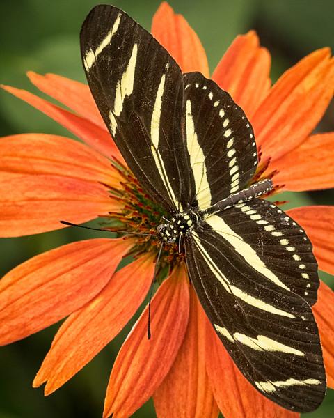 zebra longwing butterfly; 8x10