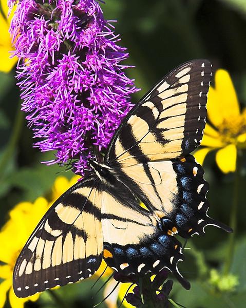Eastern Tiger Swallowtail 8x10