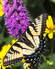 Eastern Tiger Swallowtail 8x10