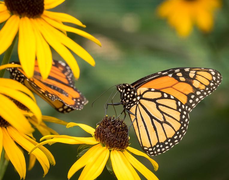 Monarch Butterfly; 11x14
