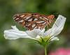 Gulf Fritillary Butterfly; 14x11