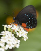Atala Hairstreak 8x10