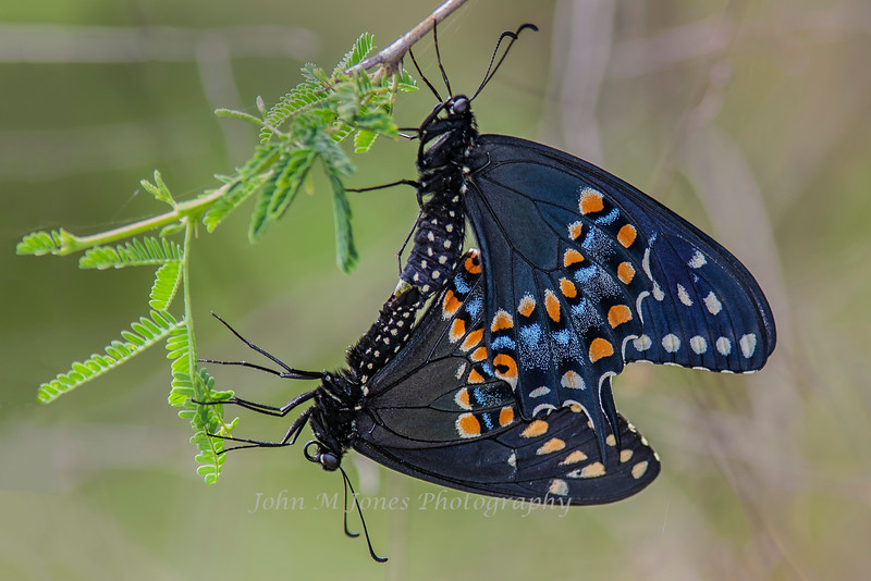 Black Swallowtails mating