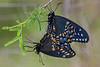 Black Swallowtails mating