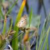 Description - White Peacock Butterfly on Sedge Flower <b>Title - Caught in the Moment</b> <i>- Mike Morningstar</i>