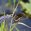 Palamedes Swallowtail Butterfly on Pickerel Weed