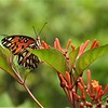 Gulf Fritillary Butterfly on Firebush