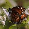 <b>Title - Queen Butterfly on Blue Mistflower</b> <i>- Fran Swirsky</i>