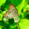 <b>Title - White Peacock Butterfly on White Vine Milkweed</b> <i>- Marilynne Strazzeri</i>
