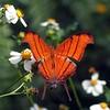 <b>Title - Ruddy Daggerwing Butterfly</b> <i>- Kristen Murtaugh</i>