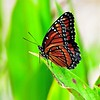 <b>Title - Viceroy Butterfly</b> <i>- Marilynne Strazzeri</i>