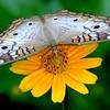 <b>Title - White Peacock Butterfly Feeding on Wedelia</b> <i>- Peggy VanArman</i>