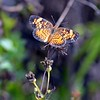 Description - Phaon Crescent Butterfly on Sedge Flower <b>Title - Wings Extended</b> <i>- Noah Kersten</i>